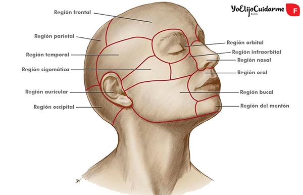 Regiones anatómicas de la cabeza claves para la rutina de masaje del cabello