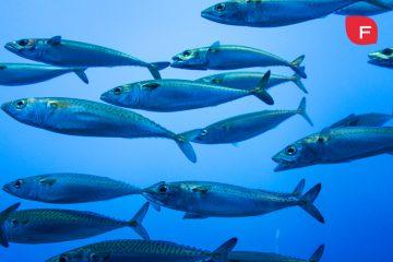 La grasa del pescado azul, ¿es realmente saludable?