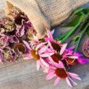 Equinácea, ¿cuándo y cuándo utilizar esta planta medicinal sorprendente?